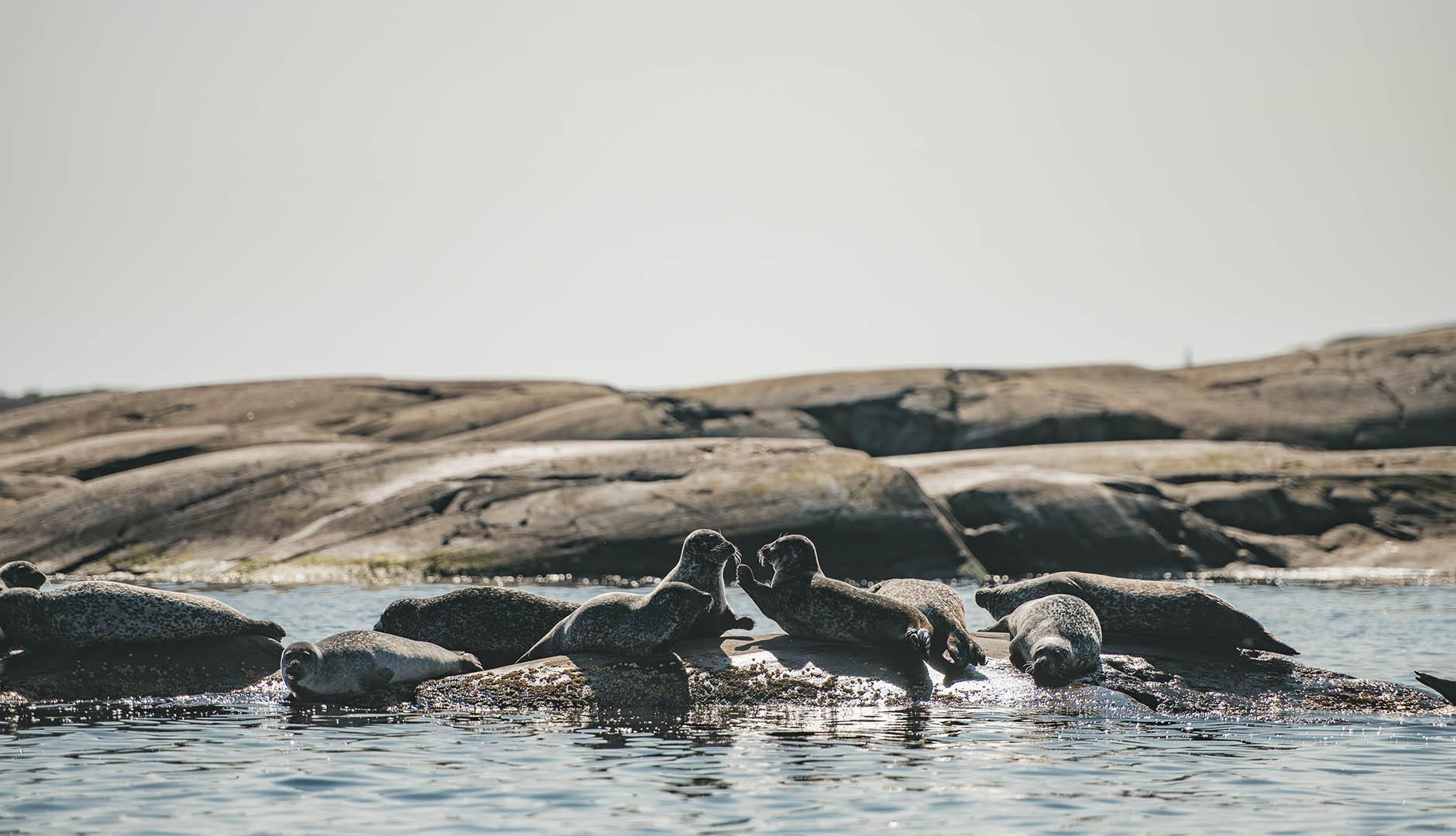 Sälar vilar på klippa i havet